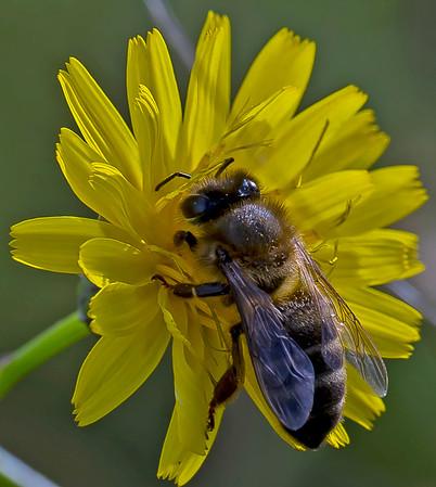 Apis Mellifera (Honey Bee)