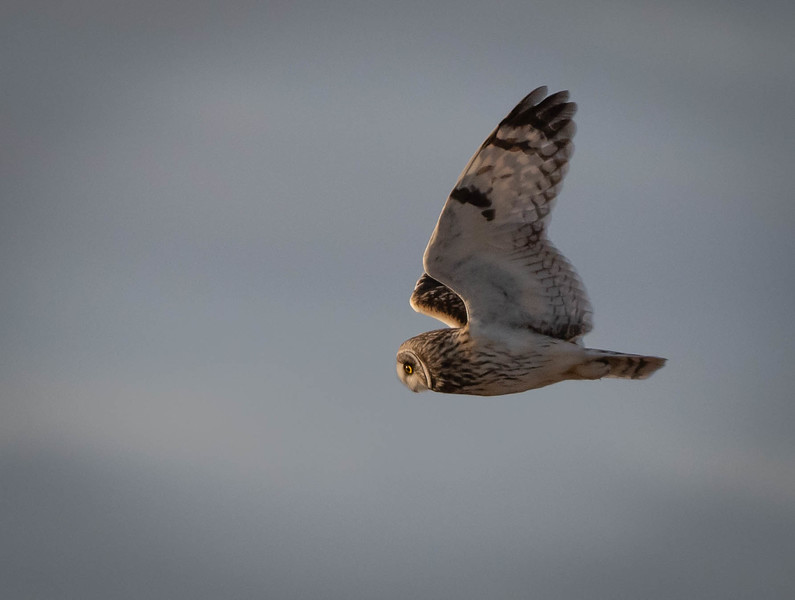 Short-eared Owl looking down