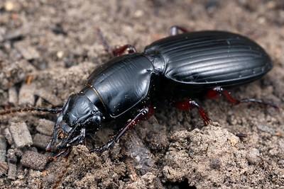 subfamily Pterostichinae