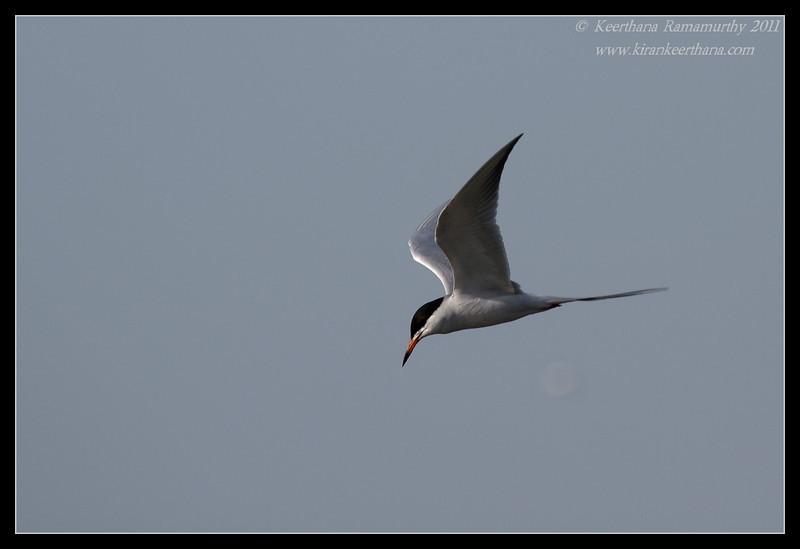 Forster's Tern, Robb Field, San Diego River, San Diego County, California, April 2011