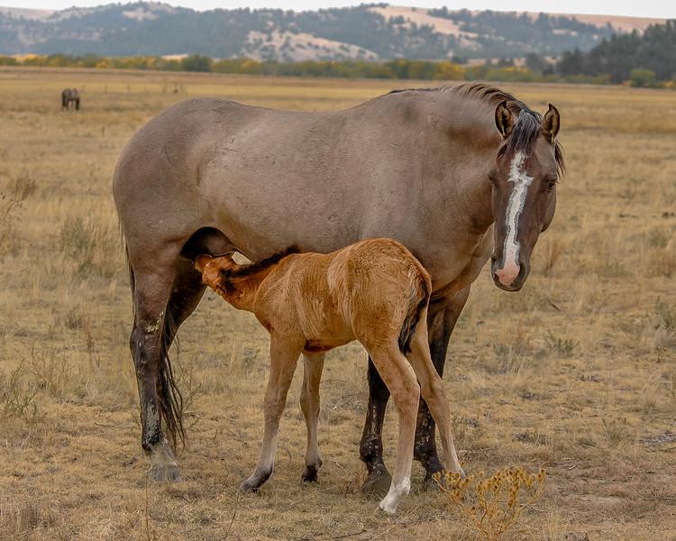 Wild Horse Foal Nursing