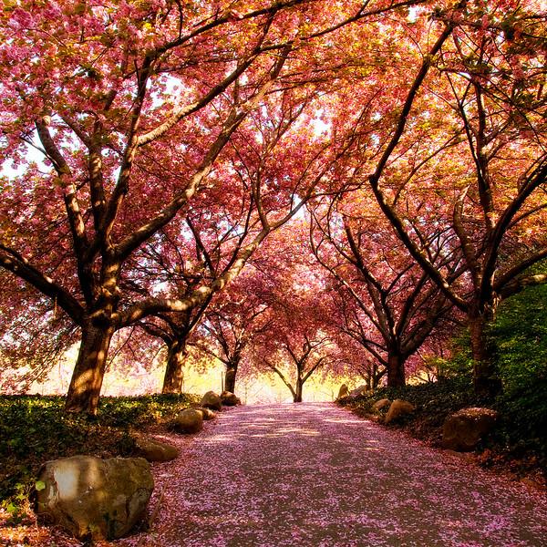 cherry-walk.jpg