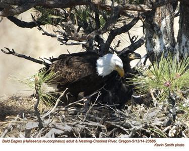 Bald Eagles Adult & Nestling 23686.jpg