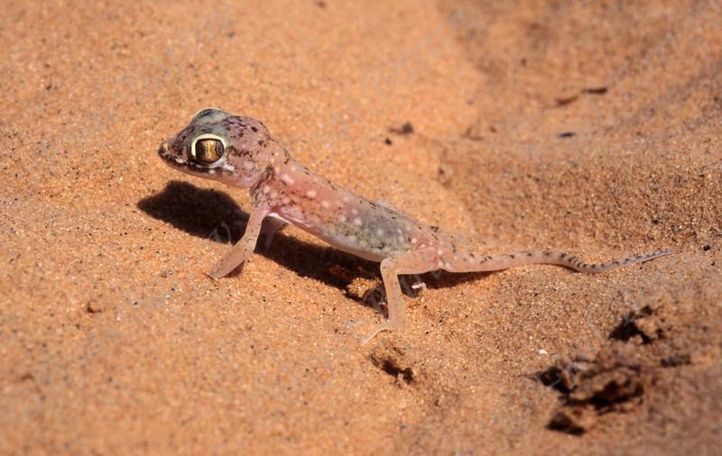 Lichtenstein's short-fingered gecko - Stenodactylus sthenodactylus ישימונית מצויה