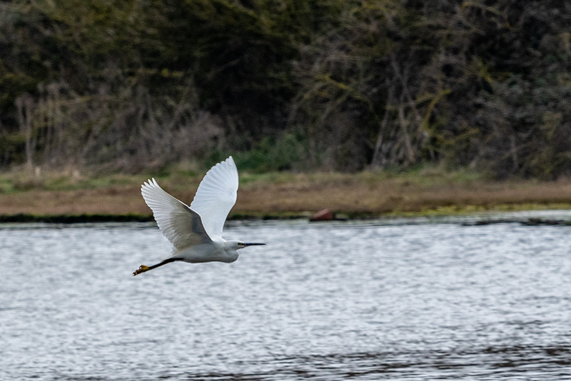 Little Egret - Egretta garzetta-13.jpg