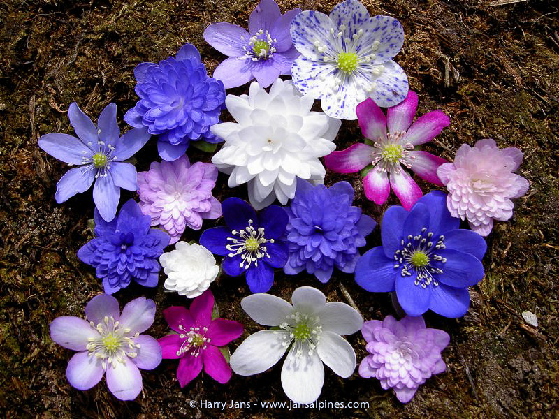 Hepatica nobilis (variation of garden plants)