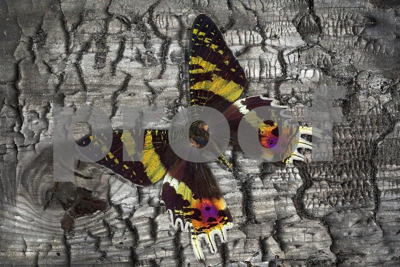 Madagascan Sunset Moth