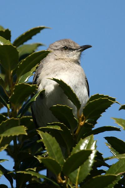 mockingbird_176504642_o.jpg