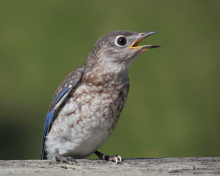 sx30_bluebird_fledgling_501.jpg
