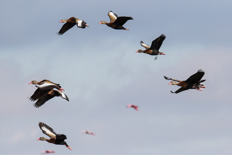 Black-bellied Whistling Ducks Anahuac NWR 2020-1.jpg