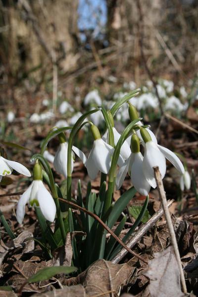 Snowdrop (Galanthus nivalis) Location: Brandywine Creek State Park