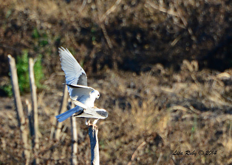 White-Tailed Kites Mating - 3/9/14 - From Lake Hodges Pedestrian Bridge