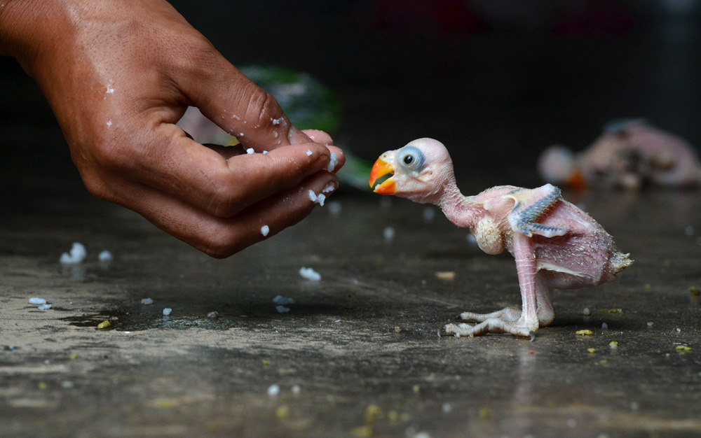 . An Indian parrot hatchling in Dimapur, India, July 24, 2013. AFP/Getty Images