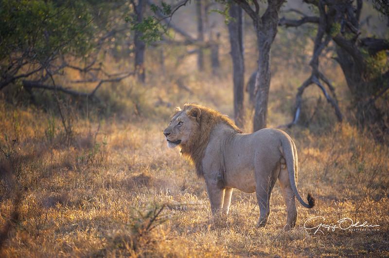 lion_at_sunrise.jpg