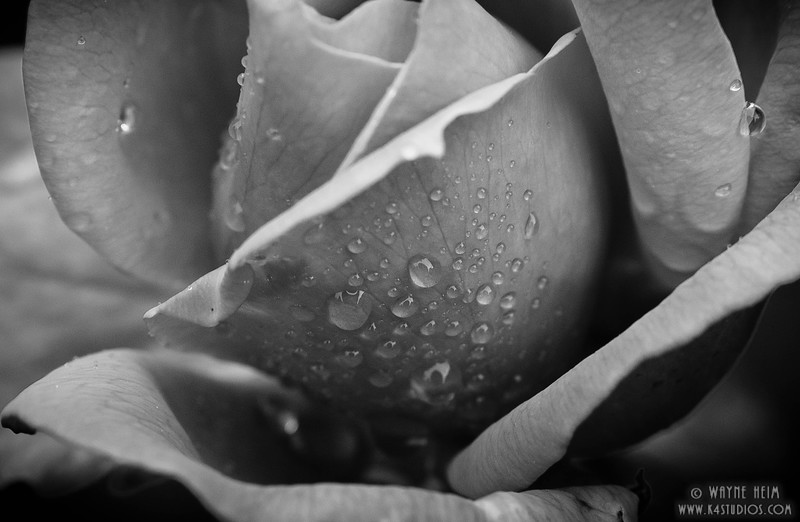 Morning Dew - Black & White Photography by Wayne Heinm