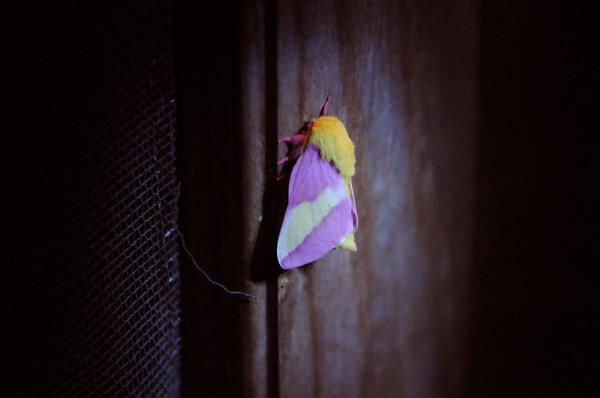 Rosy Maple Moth.