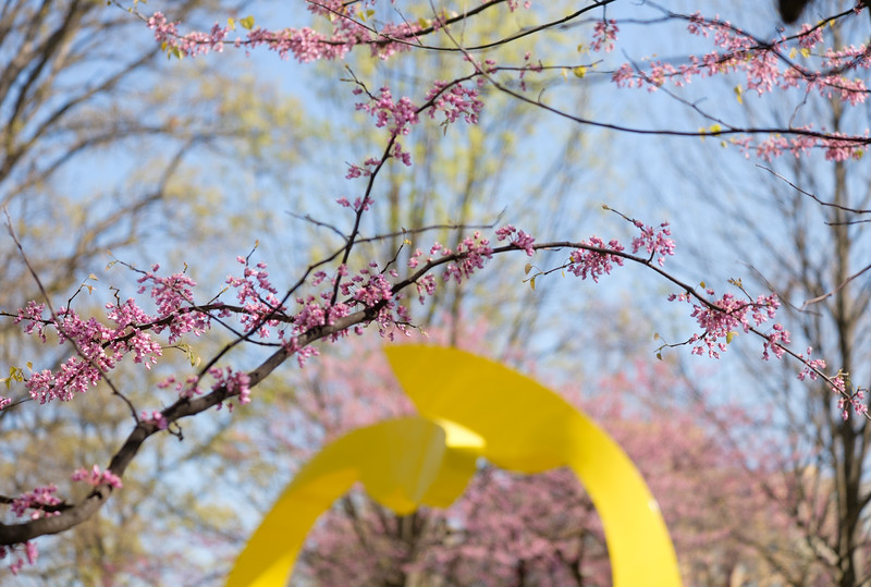 Springtime redbuds at Reston Town Center