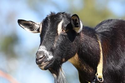 Farm Animals 2019