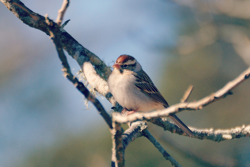 We've had more chipping sparrows visiting the feeder . . .