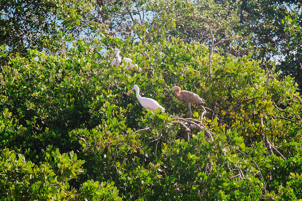 Sian Ka'an Biosphere Reserve in Mexico - Birds in the mangrove trees