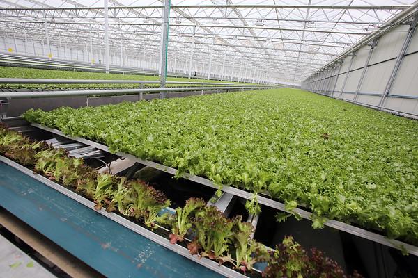Little Leaf Farms lettuce 071117