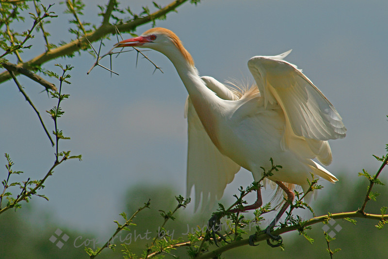 Cattle Egret Nesting2.jpg