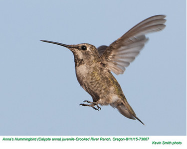 Anna's Hummingbird J73667.jpg
