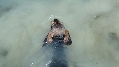 Q puppies swimming at 9 weeks