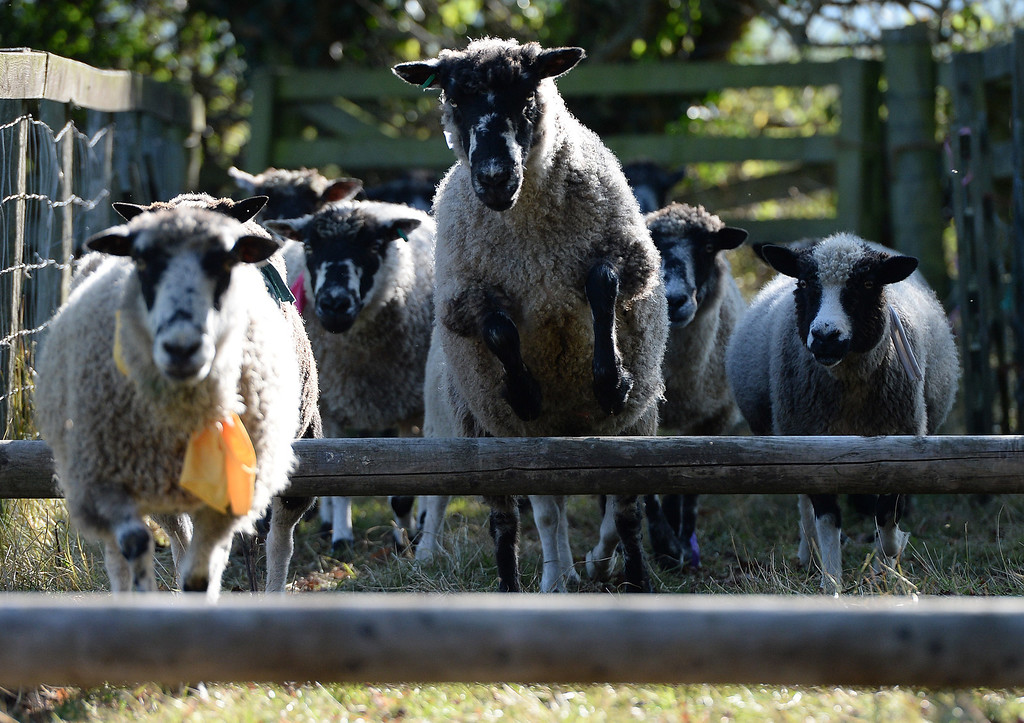 . MASHAM, UNITED KINGDOM - SEPTEMBER 28 Sheep race over hurdles during the sheep fair in Masham September 28, 2013 in Masham. The fair, celebrating its 25th year, consists of many events over the weekend, including many sheep catagories such as sheep racing, sheepdog demonstrations and fleece stalls. (Photo by Nigel Roddis/Getty Images)