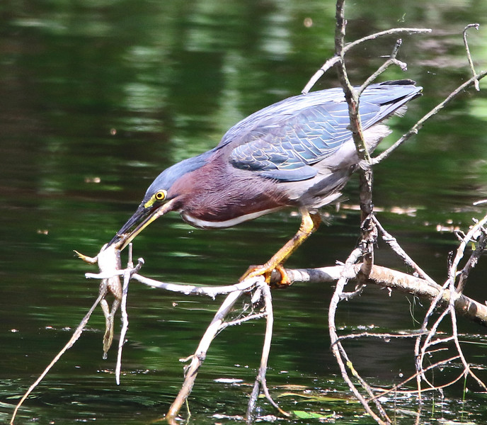 green heron with frog 7.jpg