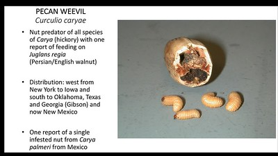 Pecan Weevil Biology, Management and Distribution