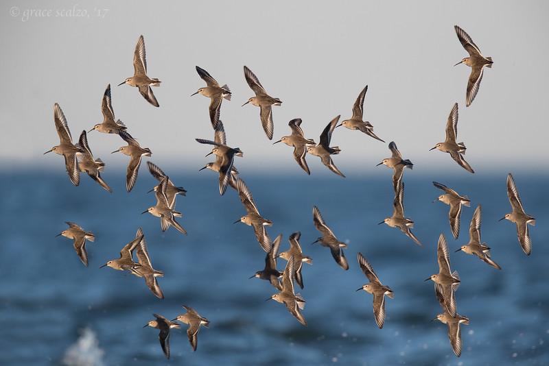 Dunlin - Winter flock