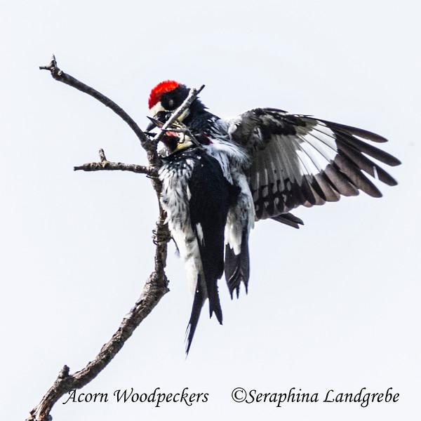 _DSC5954Acorn Woodpeckers.jpg