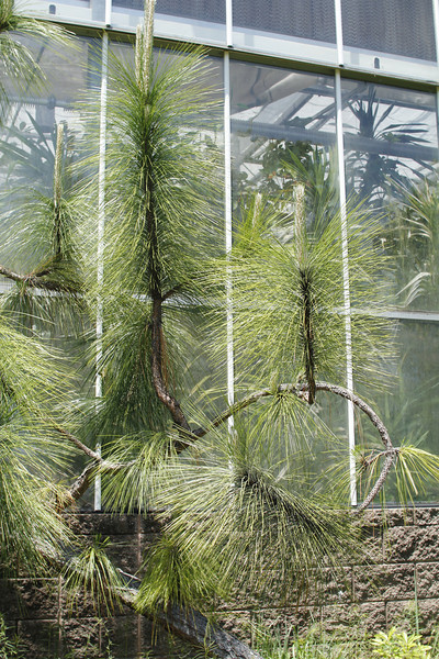 a very long leaf pine