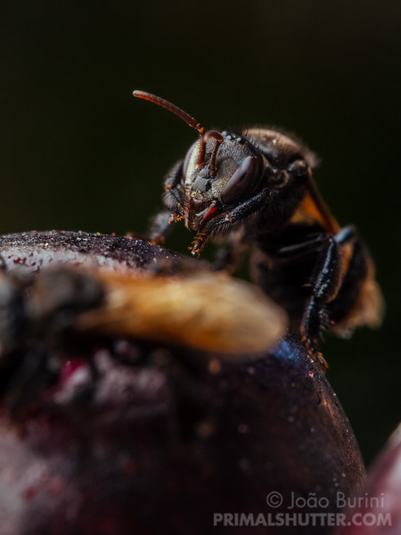 Black bee on a berry