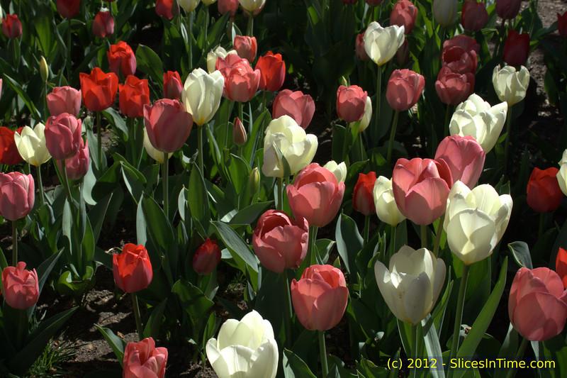 Tulips at City Hall Park, New York, NY - April 7, 2012
