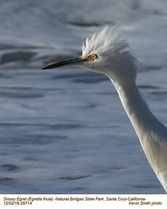 Snowy Egret 28714.jpg