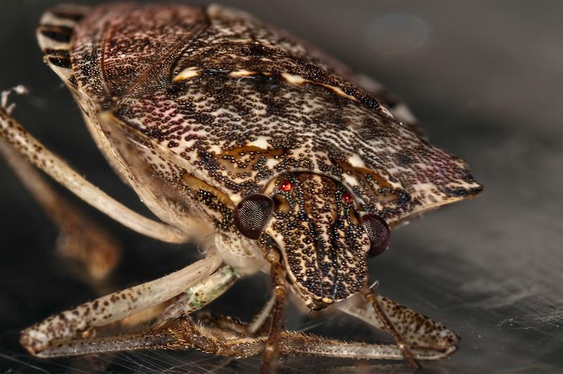 Stink-Bug-Portrait.jpg