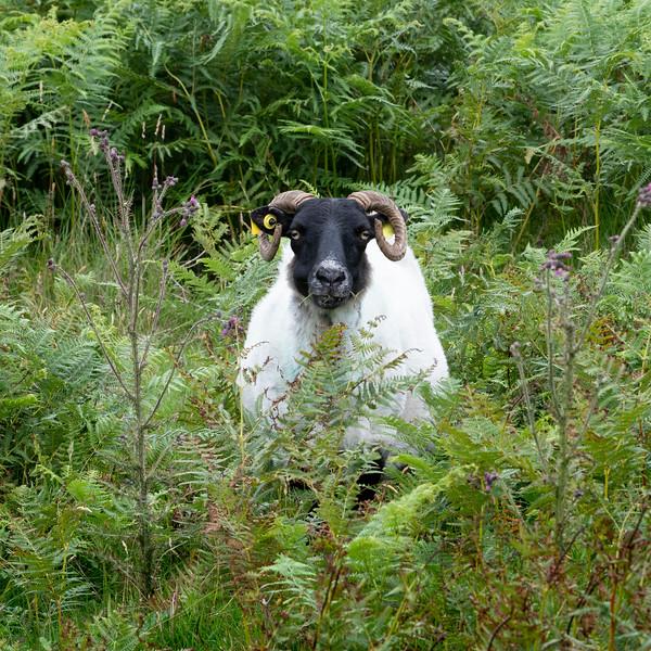 Sheep standing in bushes, Glenamoy, County Mayo, Ireland