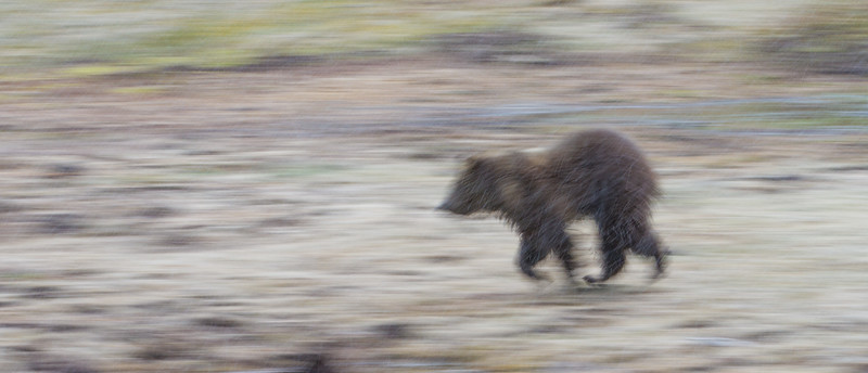 Grizzly sow and cub Yellowstone National Park WY IMG_0592.jpg