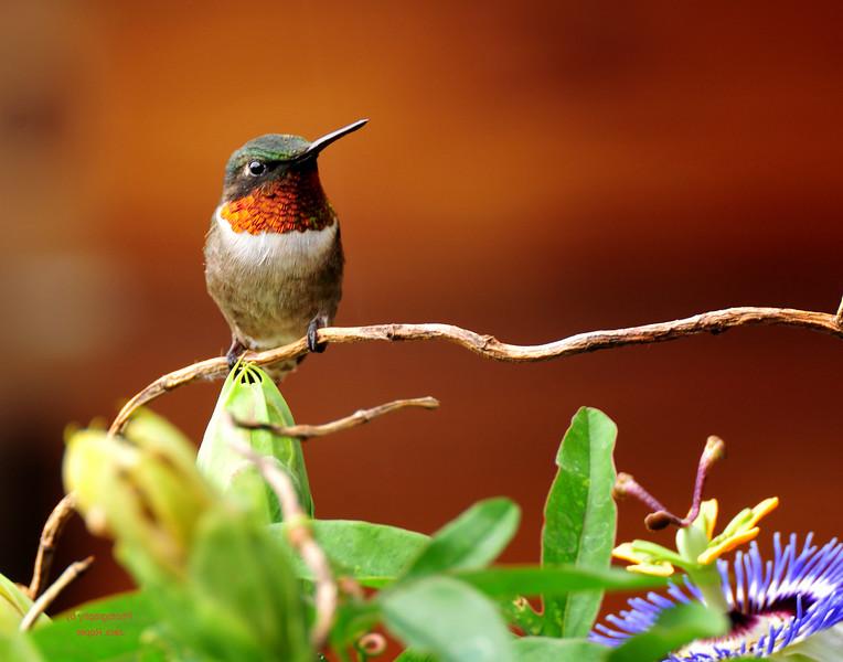Humming Bird 2.jpg