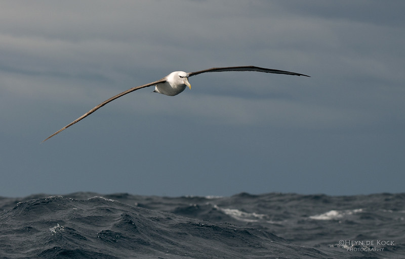 Shy Albatross, Eaglehawk Neck Pelagic, TAS, Aus, Feb 2011.jpg