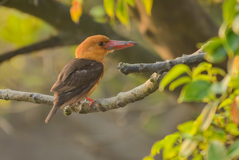 Brown-winged-Kingfisher.jpg