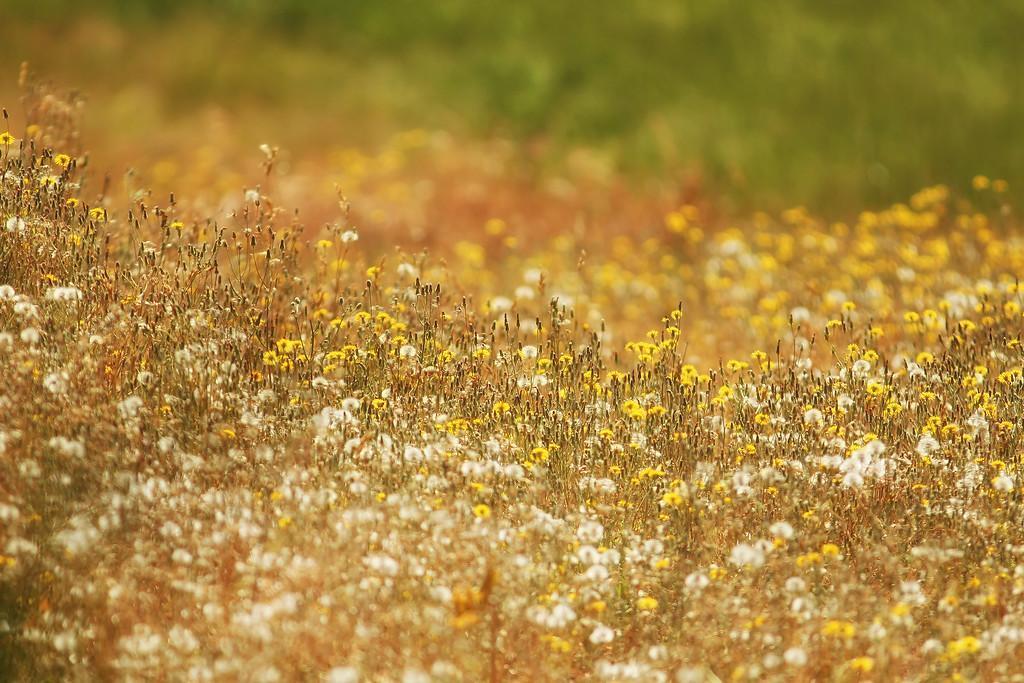 Rancho Canada del Oro Meadow, Santa Clara County, CA
