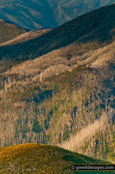 Solo hiker in late afternoon light on 'North Razorback', Mt Feathertop