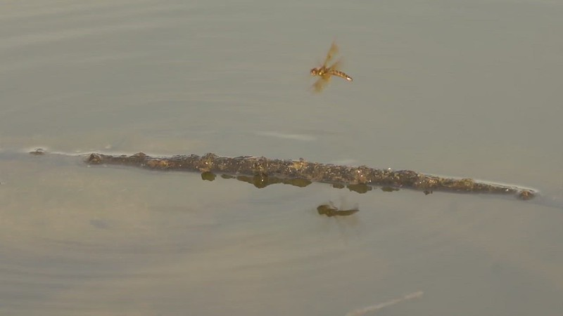eastern amberwing dragonfly slow mo.mp4