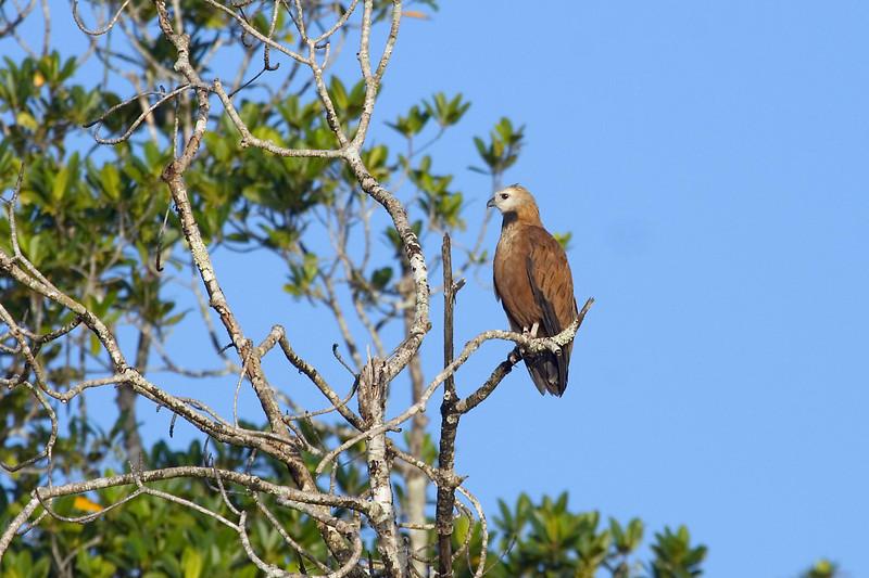 Black-collared Hawk (2) at Cano Ajies, Venezuela.psd