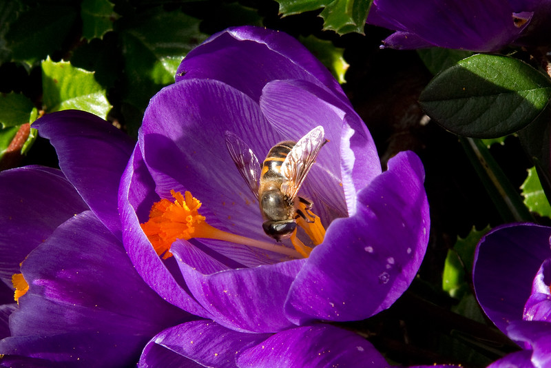 bee in crocus.jpg
