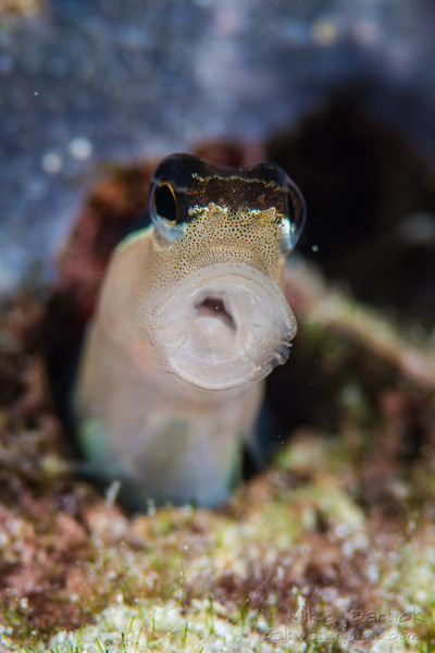 Coral Blenny Yawn (1 of 1).jpg