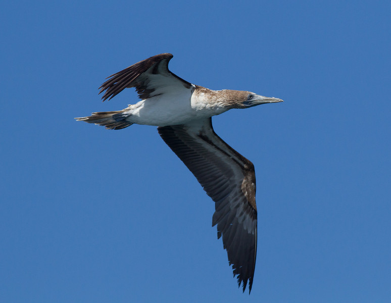 Blue-footed  Booby  Mexican Waters 2013 10 14.CR2